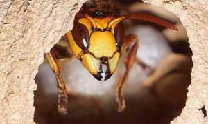 Гнездо шершней — из чего и как строится, выбор места, методы борьбы с гнездами и жалящими насекомыми