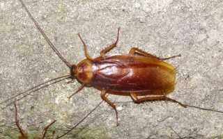 Кусаются ли тараканы или нет, они остаются опасными паразитами