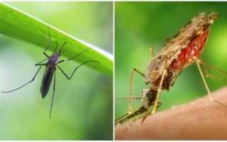 Чем питаются комары — выбор жертвы, как находят источник питания