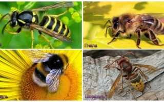 Оса, пчела, шмель и шершень: в чем схожесть этих насекомых и отличия