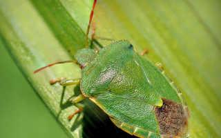 Древесный зеленый клоп щитник — «и не друг, и не враг, а так…». Лучше от него избавиться!