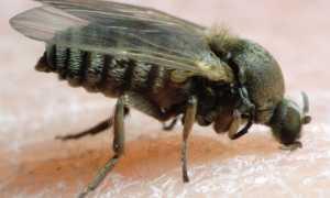 Гнус мошка — описание, опасность для человека, укусы, как лечить