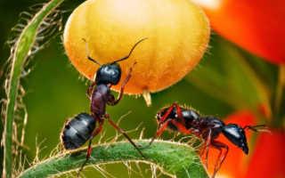Как избавиться от муравьёв в теплице — самые эффективные методы!