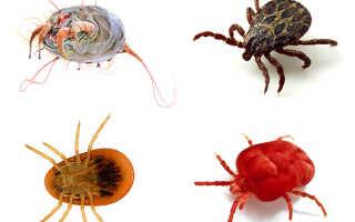 Виды клещей — опасные паразиты для людей и животных, вредители растений, возможные методы защиты