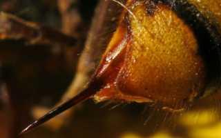 Жало шершня — компоненты в составе яда, опасность укусов для человека