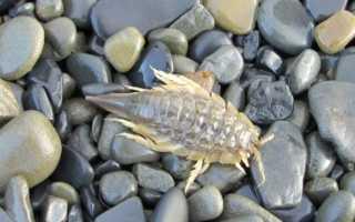 Морской таракан, как и кухонный, всеяден и неприятен на вид!
