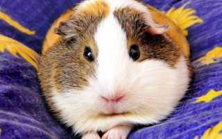 Блохи у морских свинок — описание, симптомы, лечение, профилактика