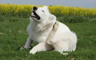 Чесоточные клещи у собаки — описание чесотки, симптомы, лечение, профилактика
