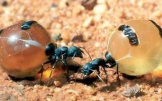 Медовые муравьи — образ жизни, питание, обитание, муравейники