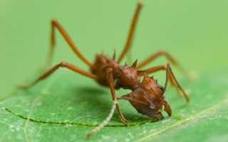 Муравьи листорезы — описание, жизненный цикл, особенности эволюционно продвинутого вида!
