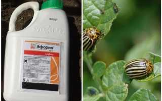 Как использовать ядохимикат Эйфория от колорадского жука на огороде — инструкция и меры безопасности