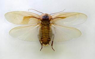 Летают ли тараканы или нет, их нужно срочно уничтожить