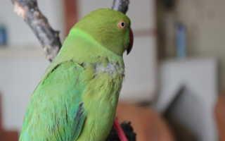 Блохи у попугаев — эффективные методы борьбы, профилактика