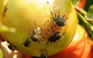 Как избавиться от клопов на помидорах — применение специализированных средств и народных методов
