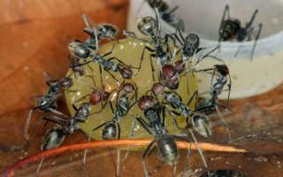 Ловушка для муравьев — лучшие виды ловушек, ловушка своими руками