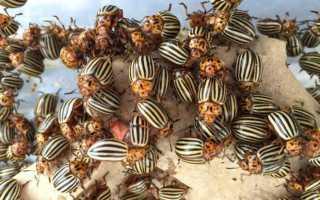 К чему снится колорадский жук и как справиться с предсказанными проблемами в реальной жизни