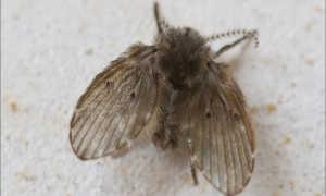 Канализационные мошки — причины появления, описание насекомых, методы борьбы