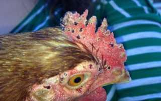 Куриный клещ — описание, методы борьбы, профилактические действия