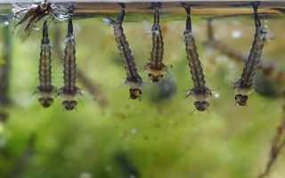Развитие и среда обитания личинок комаров