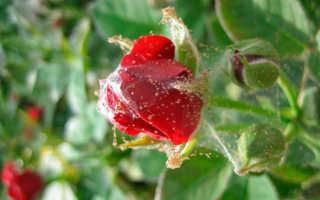 Паутинный клещ на розе — описание, причины и признаки заражения, эффективные методы борьбы