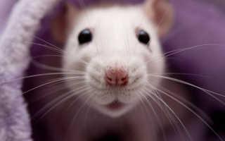Крысиные блохи: описание, опасность для человека, заражение квартир, эффективные методы борьбы