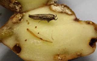 Картофельная моль — как выглядит, жизненный цикл, развитие, размножение, способы борьбы