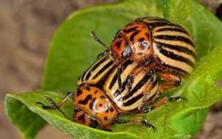 Колорадский жук попал в Европу из Мексики — описание, распространение по миру вредителя