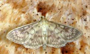 Виды моли — описание, внешние характеристики, среда обитания, рацион питания, методы борьбы