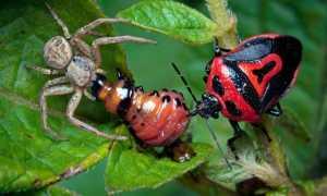 Кто ест колорадского жука — как бороться с вредителями на огороде