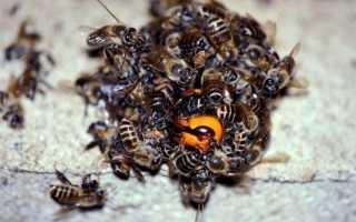 Как пчелы убивают шершня — описание насекомых, поведение, борьба в природных условиях