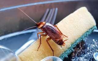 Сколько живут тараканы — жизненный цикл, особенности, стадии развития