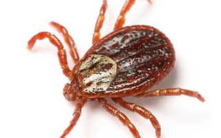 Иксодовый клещ — виды клещей, опасные заболевания, симптомы, меры безопасности
