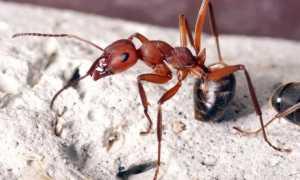 Красные муравьи в квартире — лучшие методы, которые помогут выгнать незваных гостей