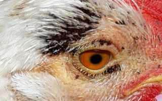 Куриные вши — описание, внешний вид, опасность для птицы, эффективные методы борьбы