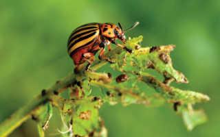 Средство от колорадского жука — описание, эффективность, рекомендации по использованию