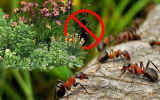 Какие растения боятся муравьи и почему: выбор результативных народных средств для избавления от муравьев