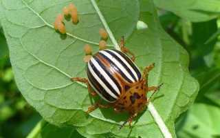 Колорадский жук — описание, среда обитания, строение тела, жизненный цикл, борьба с вредителем