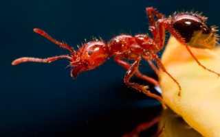 Огненные муравьи — описание, внешний вид, опасность для людей и животных