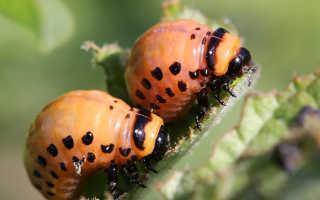Как выглядит личинка колорадского жука — как бороться с вредителями