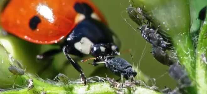 Божья коровка и тля — взаимоотношения насекомых, как используются садоводами-огородниками