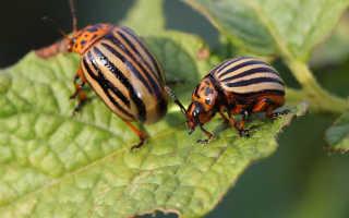 Народные средства от колорадского жука — самые популярные и эффективные методы борьбы
