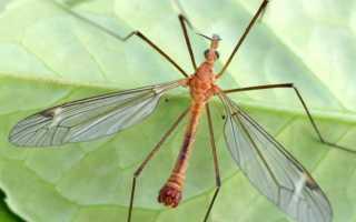 Комар долгоножка — почему его не стоит бояться?