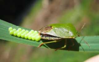 Виды клопов — описание разновидностей, особенности вредных паразитов