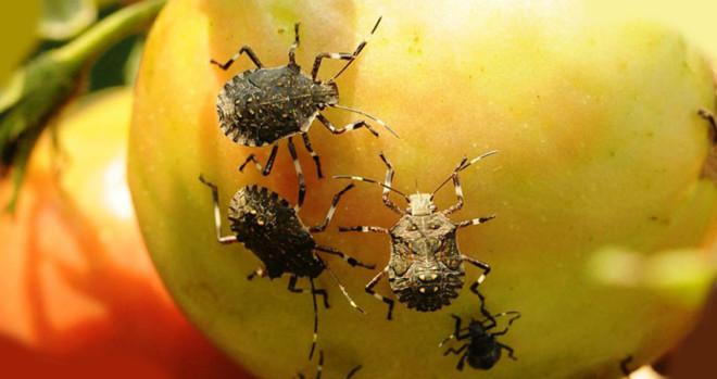 Клопы едят фрукт