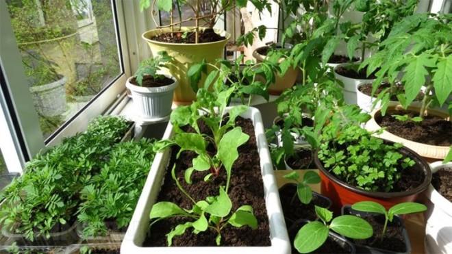 На балконе огород