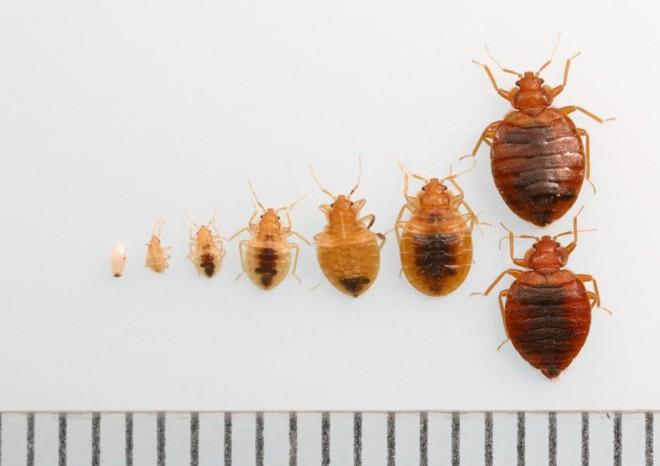 Размеры личинок клопов