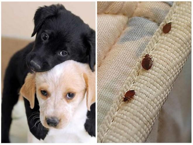 Собаки и клопы