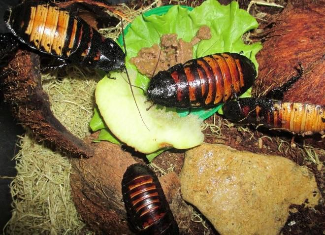 Мадагаскарские тараканы едят