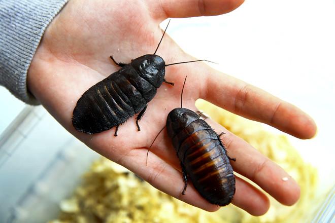 Мадагаскарские тараканы на руке