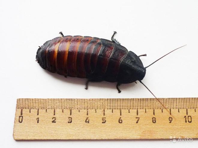 Мадагаскарский таракан размеры